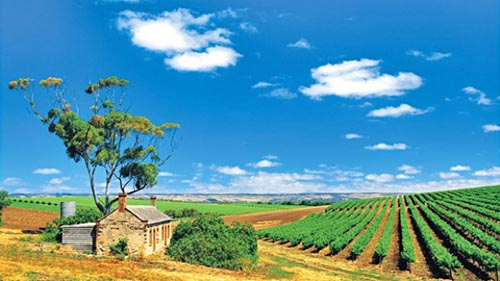 McLaren Vale is home to some of the oldest vines in the country and the landscape is simply breathtaking.